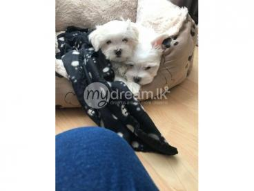 Maltese CK Reg Puppies for sale