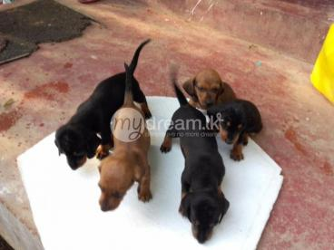 Dashond puppies for sale