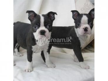 Beautiful Boston Terrier puppies looking for new homes (408) 713-9601