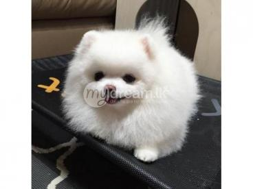 Animals Awesome Teacup Pomeranian Puppies Ready Now Borella Mydream Lk