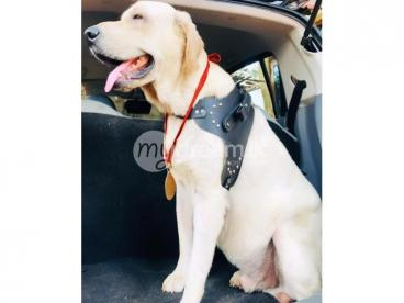 Labrado dog for crossing